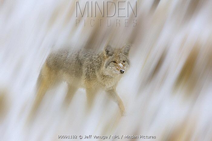 Coyote (Canis latrans) in snow, USA, September  -  Jeff Vanuga/ npl