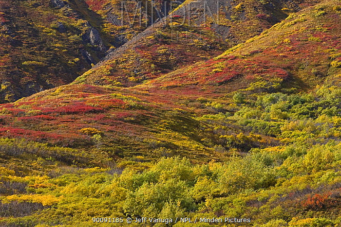 Tundra landscape in the autumn, Denali National Park, Alaska, USA, September 2008  -  Jeff Vanuga/ npl
