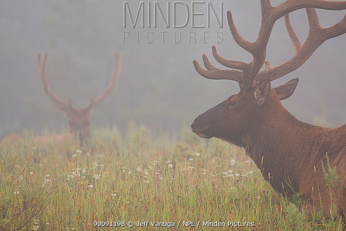 Two male Elk (Cervus canadensis) in velvet, resting in foggy meadow at dawn, Yellowstone National Park, Wyoming, USA, July  -  Jeff Vanuga/ npl