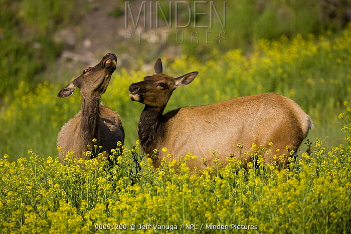 Two Female Elk (Cervus canadensis) amongst wildflowers in spring, Mammoth area of Yellowstone National Park, Wyoming, USA, June  -  Jeff Vanuga/ npl