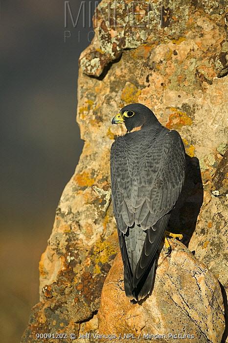 Peregrine falcon (Falco pereginus) perched on rock face, USA  -  Jeff Vanuga/ npl