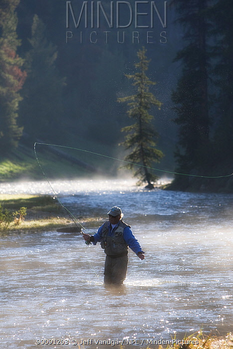Man fly fishing for trout in a river in the Shoshone National Forest, Wyoming, USA, model release July 2008  -  Jeff Vanuga/ npl