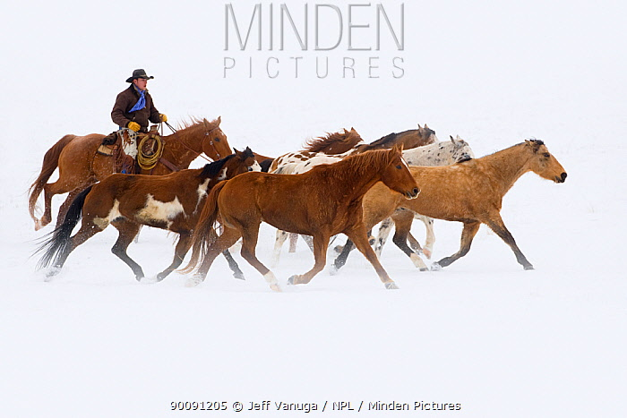 Cowboy herding horses on winter day, Flitner ranch, Shell, Wyoming, USA, Model released, February 2008  -  Jeff Vanuga/ npl