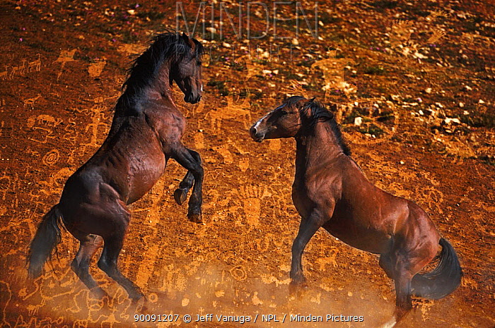 Wild horse, Mustang stallions fighting at a water hole at the Pryor Mountain Wild Horse Reserve Pryor Mountains, Wyoming and Montana, USA  -  Jeff Vanuga/ npl