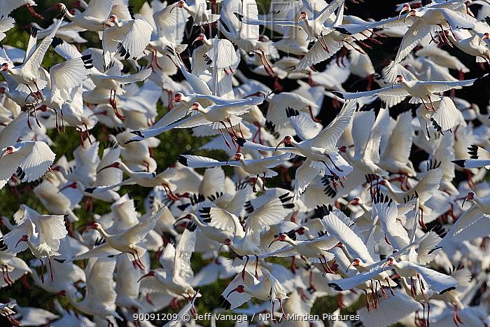 White ibis (Plegadis chihi) large flock in flight, Alafia Banks Preserve, Forida, USA, March  -  Jeff Vanuga/ npl