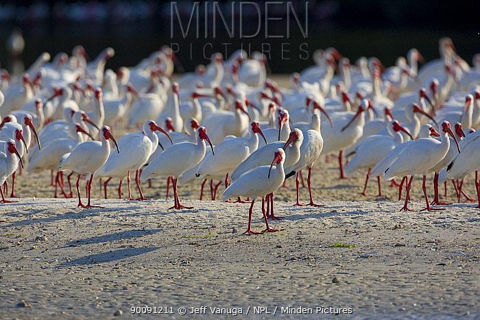 White-faced ibis (Plegadis chihi) flock on ground, Alafia Banks Preserve, Florida, USA, March  -  Jeff Vanuga/ npl