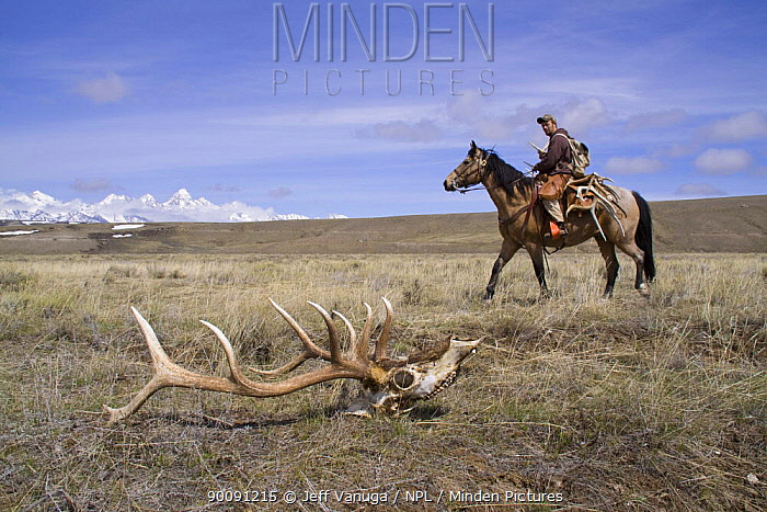 Antler Hunter picking up shed antlers from Elk in the Bridger, Teton National Forest near Jackson, Wyoming, USA Antlers are later sold to raise funds for the Boy Scouts of America April 2009  -  Jeff Vanuga/ npl