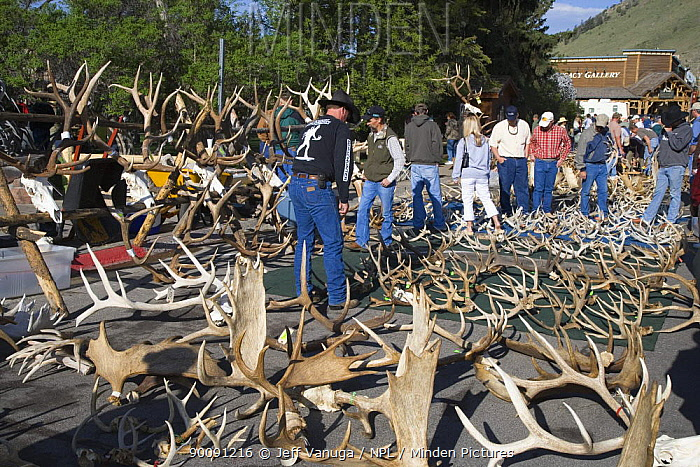 Shed antlers of Elk for sale at Jackson Hole Antler Auction held on the town square annually and proceeds of the sale go to the Boy Scouts of America Jackson, Wyoming, USA, May 2006  -  Jeff Vanuga/ npl