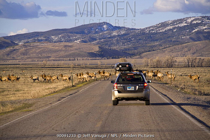 Vehicles approach a herd of Elk (Cervus canadensis) on migration in spring out of the National Elk Wildlife Refuge through Grand Teton National Park, Wyoming, USA, May 2009  -  Jeff Vanuga/ npl