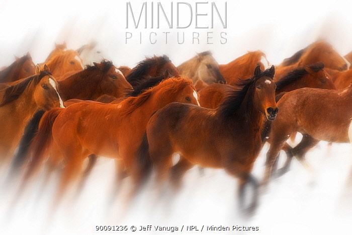 Wild horses, Mustang in snow, Wyoming, USA, February 2008  -  Jeff Vanuga/ npl