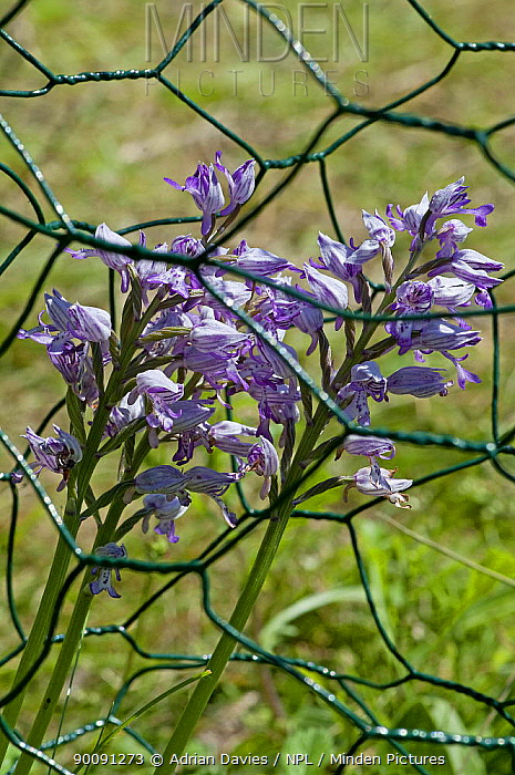 Military Orchid (Orchis militaris) growing inside protective wire cage to prevent grazing by rabbits and deer, Homefield Wood, Buckinghamshire, UK, May  -  Adrian Davies/ npl