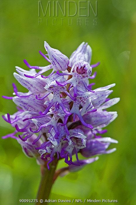 Monkey Orchid (Orchis simia) Hartslock Nature Reserve, Oxfordshire, UK  -  Adrian Davies/ npl