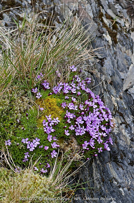 Moss Campion (Silene acaulis) flowering on cushion of moss on rock face, Cwm Idwal, Snowdonia, North Wales, UK  -  Adrian Davies/ npl