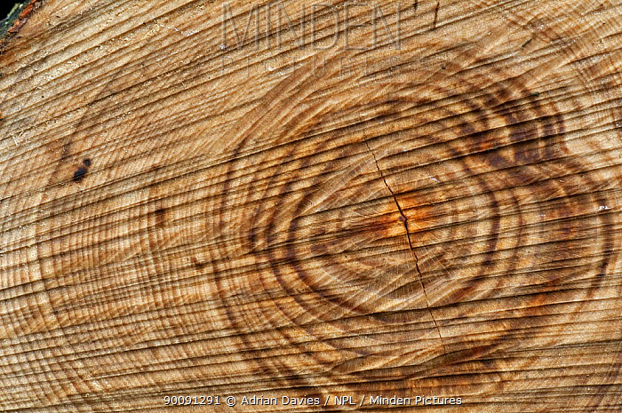 Tree rings and saw marks in newly cut conifer tree trunk, UK  -  Adrian Davies/ npl