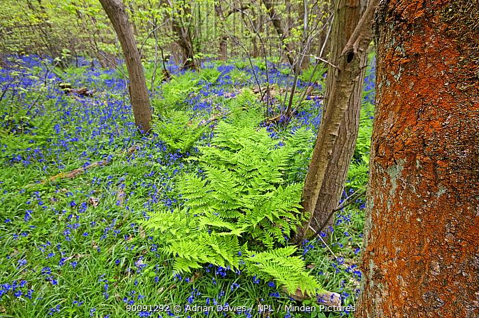 Algae (Trentepohlia) growing on tree trunk in Bluebell woodland, UK  -  Adrian Davies/ npl