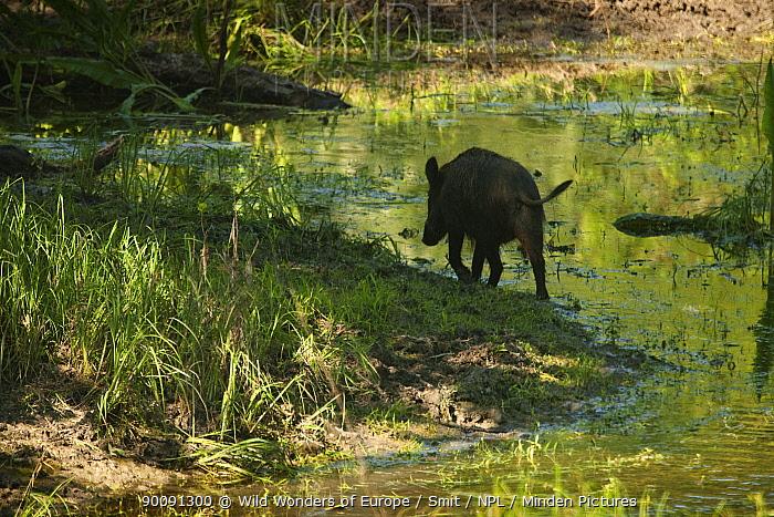 Rear view of Wild boar (Sus scrofa) walking along water's edge, Gornje Podunavlje Special Nature Reserve, Serbia, June 2009  -  WWE/ Smit/ npl