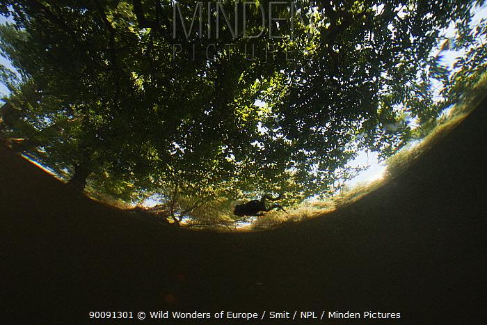 Young Green toad (Pseudopidalea, Bufo viridis) swimming on a pool's surface under massive oak trees in ancient hardwoods, Gornje Podunavlje Special Nature Reserve, Serbia, June 2009  -  WWE/ Smit/ npl