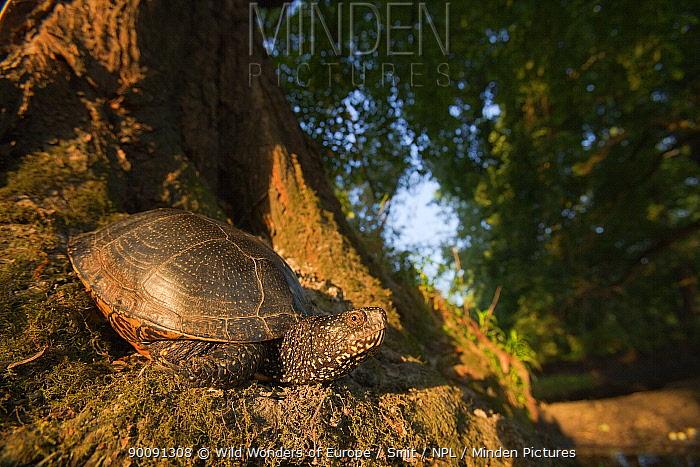 European pond turtle (Emys orbicularis) at base of tree, Gornje Podunavlje Special Nature Reserve, Serbia, June 2009  -  WWE/ Smit/ npl