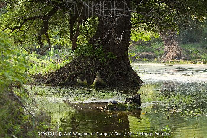 European pond turtle (Emys orbicularis) on log in water, Gornje Podunavlje Special Nature Reserve, Serbia, June 2009  -  WWE/ Smit/ npl