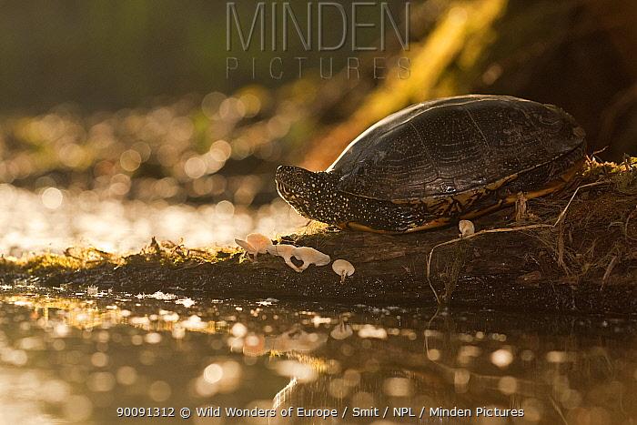 European pond turtle (Emys orbicularis) on piece of wood with mushrooms growing on it, Gornje Podunavlje Special Nature Reserve, Serbia, June 2009  -  WWE/ Smit/ npl
