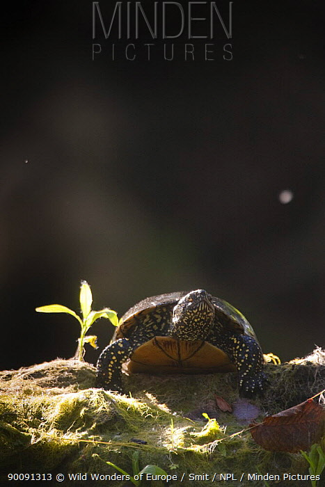 European pond turtle (Emys orbicularis) Gornje Podunavlje Special Nature Reserve, Serbia, June 2009  -  WWE/ Smit/ npl