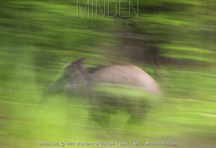 Wild boar (Sus scrofa) running, Gornje Podunavlje Special Nature Reserve, Serbia, June 2009  -  WWE/ Smit/ npl