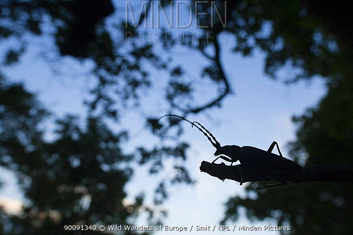 Tanner, Sawyer beetle (Prionus coriarius) silhouetted on branch at dusk, Djerdab National Park, Serbia, June 2009  -  WWE/ Smit/ npl