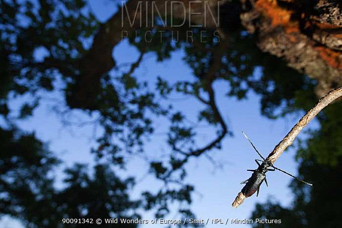 Tanner, Sawyer beetle (Prionus coriarius) on Oak branch, Djerdap National Park, Serbia, June 2009  -  WWE/ Smit/ npl