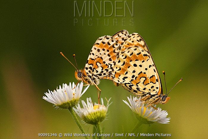 Balkan fritillary butterflies (Boloria graeca) mating, Djerdap National Park, Serbia, June 2009  -  WWE/ Smit/ npl
