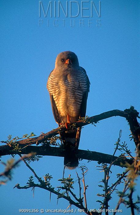 Ovambo sparrowhawk (Accipiter ovampensis) perched, Etosha NP, Namibia  -  Uncatalogued/ npl