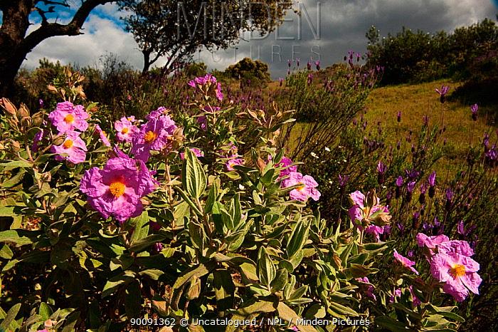 Pink rock rose (Cistus crispus) in flower, Sierra de And�jar Natural Park, Mediterranean woodland of Sierra Morena, north east Ja?n Province, Andalusia, Spain, April 2009  -  Uncatalogued/ npl