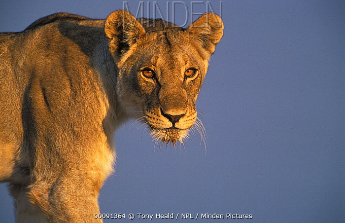 Lioness portrait (Panthera leo) Etosha NP, Namibia  -  Tony Heald/ npl
