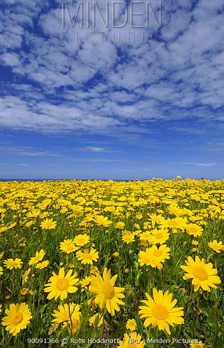 Mass of Corn marigolds (Chrysanthemum segetum) West Pentire, nr Newquay, Cornwall, UK June 2008  -  Ross Hoddinott/ npl