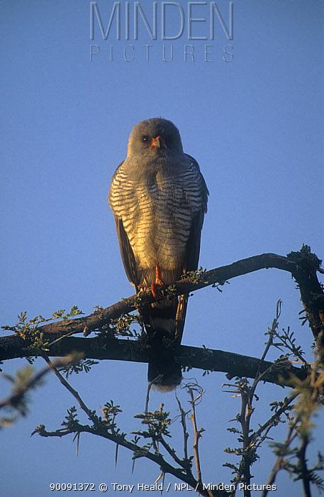 Ovambo sparrowhawk (Accipiter ovampensis) perched, Etosha NP, Namibia  -  Tony Heald/ npl