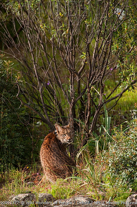 Wild Iberian lynx (Lynx pardinus) male, one year, with GPS tracking collar, sitting, Sierra de And�jar Natural Park, Mediterranean woodland of Sierra Morena, north east Ja?n Province, Andalusia, Spain, April 2009, Critically endangered  -  WWE/ Oxford/ npl