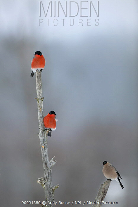 Bullfinch (Pyrrhula pyrrhula) two males and a female perched, Finland (non-ex)  -  Andy Rouse/ npl