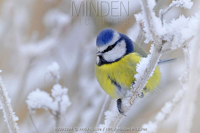 Blue tit (Parus caeruleus) perched in snow, Wales, UK (non-ex) January  -  Andy Rouse/ npl