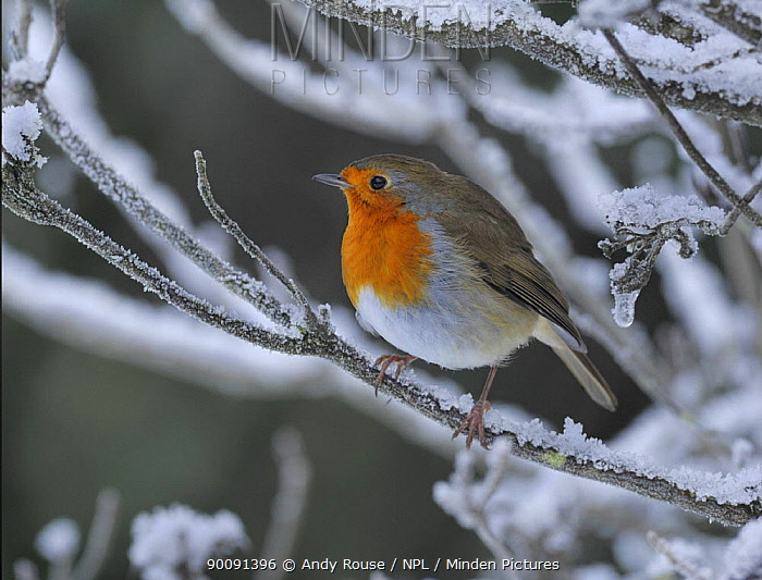 Robin (Erithacus rubecula) perched in snow, Wales, UK (non-ex) January  -  Andy Rouse/ npl