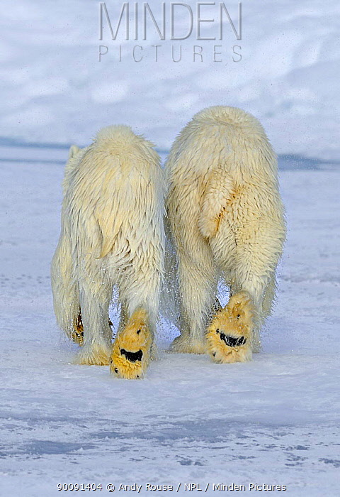Polar Bear (Ursus arctos maritimus) mother and cub (18 months) walking away after swimming, Svalbard, Norway (non-ex)  -  Andy Rouse/ npl