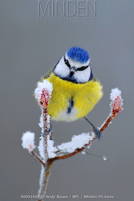 Blue Tit (Parus caeruleus) perched in snow, Wales, UK, January  -  Andy Rouse/ npl