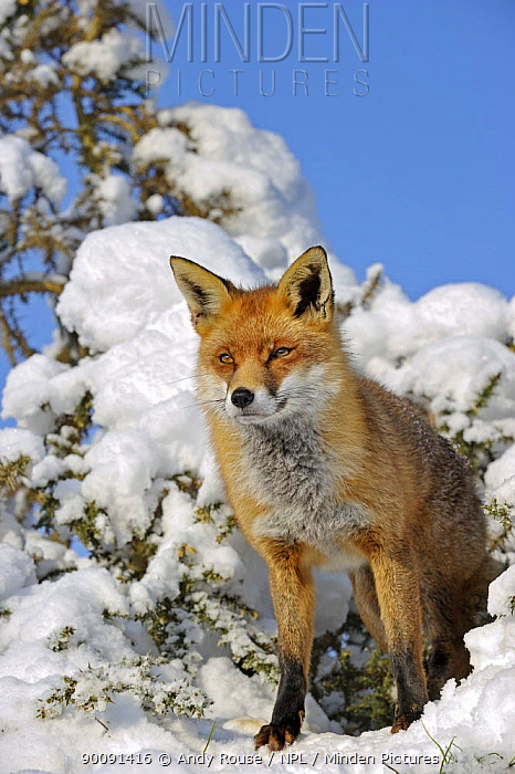 European Red Fox (Vulpes vulpes) in snow, UK, captive  -  Andy Rouse/ npl