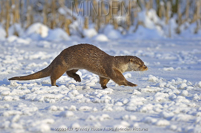 European Otter (Lutra Lutra) walking across snow, UK, captive  -  Andy Rouse/ npl