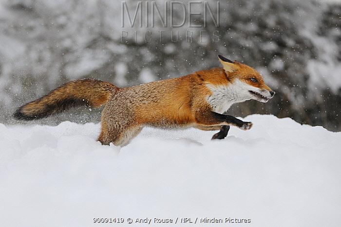 European Red Fox (Vulpes vulpes) running through deep snow, UK, captive  -  Andy Rouse/ npl