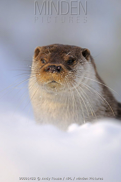 European Otter (Lutra Lutra) in snow, UK, captive  -  Andy Rouse/ npl
