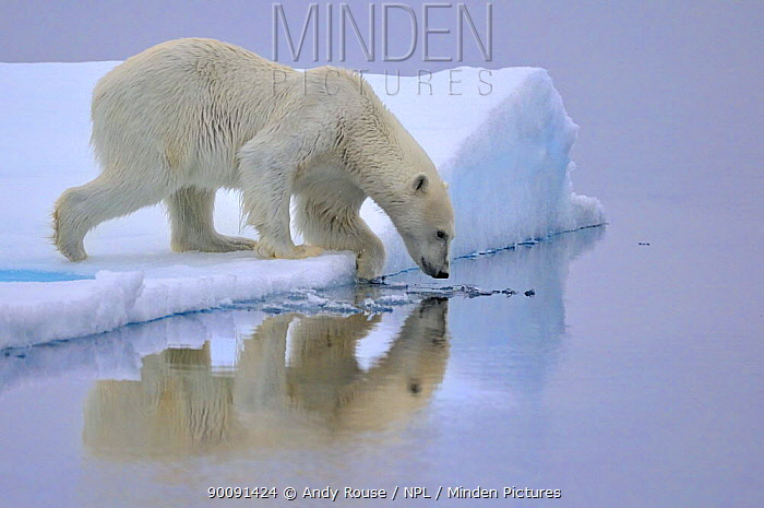 Polar Bear (Ursus arctos maritimus) about to enter water, Svalbard, Norway, September 2009  -  Andy Rouse/ npl