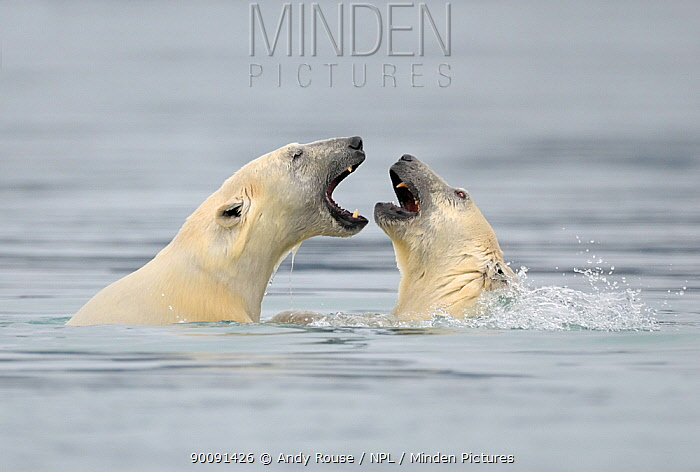 Polar Bear (Ursus arctos maritimus) mother and cub playing in water, Svalbard, Norway, September 2009  -  Andy Rouse/ npl