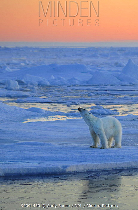Polar Bear (Ursus arctos maritimus) sniffing the air on pack ice at sunset, Svalbard, Norway, September 2009  -  Andy Rouse/ npl