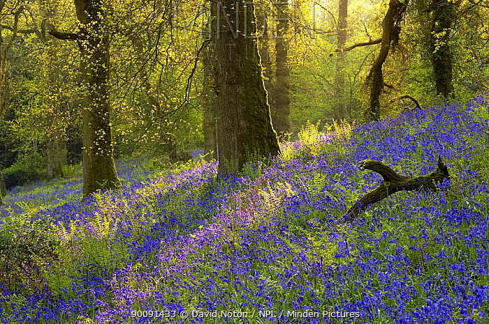 Bluebells in a wood, Batcombe, Dorset, England, UK  -  David Noton/ npl