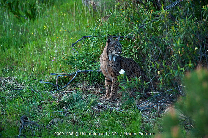 Wild Iberian lynx (Lynx pardinus) female emerging from undergrowth, Sierra de And�jar Natural Park, Mediterranean woodland of Sierra Morena, north east Ja?n Province, Andalusia, Spain, April 2009, Critically endangered  -  Uncatalogued/ npl