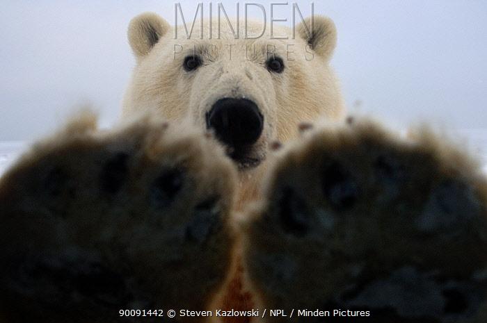 polar bear, Ursus maritimus, curiously looks in truck window, 1002 coastal plain of the Arctic National Wildlife Refuge, Alaska  -  Steven Kazlowski/ npl